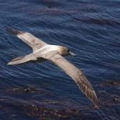 Light-mantled sooty albatross. Adult in flight (dorsal). Enderby Island,  Auckland Islands, January 2018. Image © Colin Miskelly by Colin Miskelly