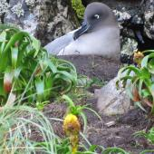 Light-mantled sooty albatross. Adult at nest showing blue line along bill. Campbell Island, December 2010. Image © Kyle Morrison by Kyle Morrison