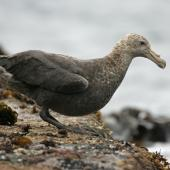 Southern giant petrel. Immature. Antipodes Island, March 2009. Image © David Boyle by David Boyle
