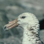 Southern giant petrel. Adult dark morph. Hop Island, Prydz Bay, Antarctica, February 1990. Image © Colin Miskelly by Colin Miskelly
