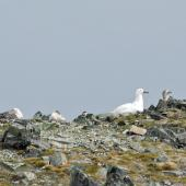 Southern giant petrel. White morph among roosting flock. Antarctic Peninsula, December 2006. Image © Nigel Voaden by Nigel Voaden http://www.flickr.com/photos/nvoaden/
