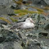 Southern giant petrel. Dark morph adult on nest. Antarctic Peninsula, December 2006. Image © Nigel Voaden by Nigel Voaden http://www.flickr.com/photos/nvoaden/