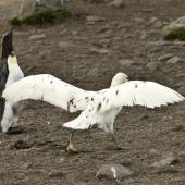 Southern giant petrel. Adult white morph taking off. St Andrew Bay,  South Georgia, January 2016. Image © Rebecca Bowater  by Rebecca Bowater FPSNZ AFIAP www.floraandfauna.co.nz