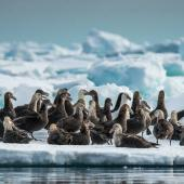 Southern giant petrel. Adults, white and dark morphs, on ice floe. Cape Adare, Antarctica, January 2018. Image © Mark Lethlean by Mark Lethlean