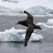 Southern giant petrel. Dark morph juvenile in flight. Commonwealth Sea, Southern Indian Ocean, January 2015. Image © Sergey Golubev by Sergey Golubev