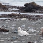 Southern giant petrel. Light and dark morph birds on beach with skua. Macquarie Island, November 2011. Image © Sonja Ross by Sonja Ross