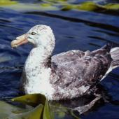 Southern giant petrel. Adult dark morph. Boat Harbour, Snares Islands, November 1987. Image © Colin Miskelly by Colin Miskelly