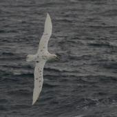 Southern giant petrel. Adult white morph in flight. Drake Passage, January 2009. Image © Colin Miskelly by Colin Miskelly