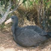 Northern giant petrel. Large chick ready to fledge. Complex Point, Campbell Island, January 1993. Image © Alan Tennyson by Alan Tennyson