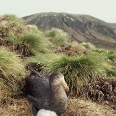 Northern giant petrel. Adult and downy chick. Hill 208, Antipodes Island, November 1995. Image © Alan Tennyson by Alan Tennyson
