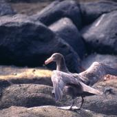 Northern giant petrel. Foraging adult. Antipodes Island, October 1995. Image © Terry Greene by Terry Greene