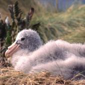 Northern giant petrel. Chick on nest. Antipodes Island, October 1995. Image © Terry Greene by Terry Greene