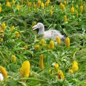 Northern giant petrel. Chick among Bulbinella flowers. Enderby Island, Auckland Islands, December 2011. Image © Department of Conservation by Rob Wardle