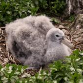 Northern giant petrel. Chick alone on nest (post-guard stage). Forty Fours,  Chatham Islands, December 2009. Image © Mark Fraser by Mark Fraser