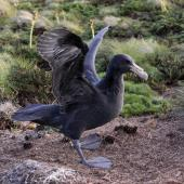 Northern giant petrel. A chick near its nest learning to use its wings. Antipodes Island, February 2009. Image © Mark Fraser by Mark Fraser
