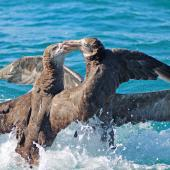 Northern giant petrel. Two adults fighting. Kaikoura pelagic, January 2015. Image © Silvia Giombi by Silvia Giombi