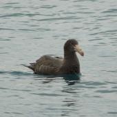 Northern giant petrel. Immature on water. Kaikoura coast, June 2008. Image © Alan Tennyson by Alan Tennyson
