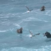 Northern giant petrel. Scavenging around New Zealand sea lion kill of an eastern rockhopper penguin. Penguin Bay,  Campbell Island, January 2013. Image © Kyle Morrison by Kyle Morrison