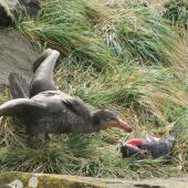 Northern giant petrel. Adult eating adult eastern rockhopper penguin after killing it. Campbell Island, October 2011. Image © Kyle Morrison by Kyle Morrison