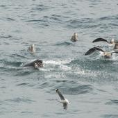 Northern giant petrel. Adults await scraps of adult eastern rockhopper penguin being eaten by a New Zealand sea lion. Campbell Island, December 2011. Image © Kyle Morrison by Kyle Morrison