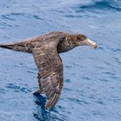 Northern giant petrel. Adult in flight. Near Macquarie Island, January 2018. Image © Mark Lethlean by Mark Lethlean