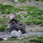 Northern giant petrel. Adult resting on the beach. Saint Andrew's beach, South Georgia, December 2015. Image © Cyril Vathelet by Cyril Vathelet