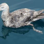 Northern giant petrel. Adult. Port Hardy, D'Urville Island, February 2016. Image © Tim & Suzy Wanklyn by Tim & Suzy Wanklyn