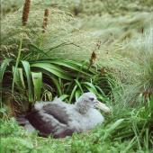 Northern giant petrel. Large chick on nest. Six Foot Lake, Campbell Island, January 2006. Image © Colin Miskelly by Colin Miskelly