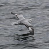 Antarctic fulmar. Adult in flight. Chile, Straits of Magellan, October 2017. Image © Geoff de Lisle by Geoff de Lisle