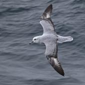 Antarctic fulmar. Adult in flight. At sea between Elephant Island and Coronation Island, February 2019. Image © Glenn Pure 2019 birdlifephotography.org.au by Glenn Pure