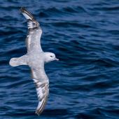 Antarctic fulmar. Moulting adult in flight, dorsal view. Southern Ocean, January 2018. Image © Mark Lethlean by Mark Lethlean