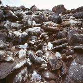 Antarctic fulmar. Breeding colony. Hop Island, Prydz Bay, Antarctica, February 1990. Image © Colin Miskelly by Colin Miskelly