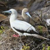 Red-footed booby. Adult pair on nest (white morph and brown morph). San Cristobal Island,  Galapagos Islands, August 2016. Image © Rebecca Bowater by Rebecca Bowater FPSNZ AFIAP wwww.floraandfauna.co.nz