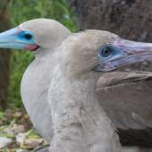 Red-footed booby. Head of subadult (foreground) and adult (background) - both intermediate morph. Darwin Bay Beach, Genovesa, Galapagos Islands, June 2014. Image © Judi Lapsley Miller by Judi Lapsley Miller Email|Portfolio|Flickr