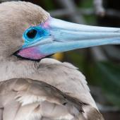 Red-footed booby. Head of adult (brown morph). Darwin Bay Beach, Genovesa, Galapagos Islands, June 2014. Image © Judi Lapsley Miller by Judi Lapsley Miller Email|Portfolio|Flickr