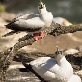 Red-footed booby. Pale morph adult showing underside of bill in comparison with nearby gannet. Muriwai gannet colony, January 2017. Image © John and Melody Anderson, Wayfarer International Ltd by John and Melody Anderson Love our Birds® | www.wayfarerimages.co.nz
