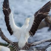Red-footed booby. Pale morph adult with wings raised. Muriwai gannet colony, January 2017. Image © Jim Harding by Jim Harding