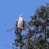 Red-footed booby. Intermediate morph adult roosting. Napier Islet, Kermadec Islands, April 2016. Image © Robert Atkinson by Robert Atkinson