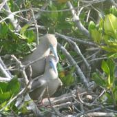 Red-footed booby. Brown morph adults mating. Genovese Island, Galapagos Islands, November 2005. Image © Suzi Phillips by Suzi Phillips