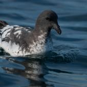Cape petrel. Adult swimming on water. At sea off Otago Peninsula, April 2012. Image © Craig McKenzie by Craig McKenzie