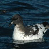 Cape petrel. Adult swimming. Kaikoura pelagic, February 2010. Image © Sarah Jamieson by Sarah Jamieson
