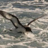 Cape petrel. Adult taking off from water. Off Pitt Island, Chatham Islands, November 2020. Image © James Russell by James Russell