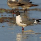 Laughing gull. Breeding adult. Bahia la Ventosa, Mexico, March 2015. Image © Nigel Voaden by Nigel Voaden