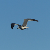 Laughing gull. Immature in flight. Waiotahi Beach, Bay of Plenty, December 2016. Image © Alan Tennyson by Alan Tennyson