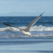 Laughing gull. Immature in flight. Waiotahi Beach, Bay of Plenty, December 2016. Image © Alan Tennyson by Alan Tennyson