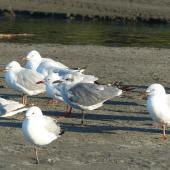 Laughing gull. Immature with red-billed gulls. Waiotahi Beach, Bay of Plenty, December 2016. Image © Alan Tennyson by Alan Tennyson