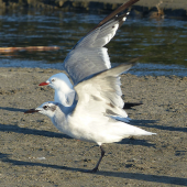 Laughing gull. Immature taking off by red-billed gull. Waiotahi Beach, Bay of Plenty, December 2016. Image © Alan Tennyson by Alan Tennyson