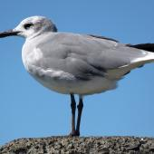 Laughing gull. Immature on wharf post. Opotiki Wharf, January 2017. Image © Scott Brooks (ourspot) by Scott Brooks