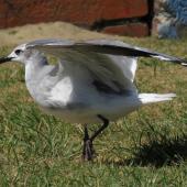 Laughing gull. Immature about to take flight. Opotiki Wharf, January 2017. Image © Scott Brooks (ourspot) by Scott Brooks