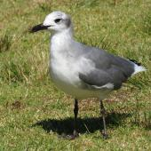 Laughing gull. Immature. Opotiki Wharf, January 2017. Image © Scott Brooks (ourspot) by Scott Brooks